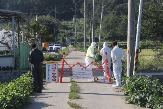 생존력 강한 아프리카돼지열병 바이러스 이번에는 한국 덮쳤다