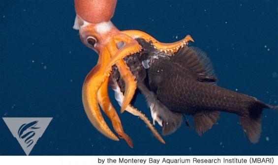 포식자 오징어의 위엄