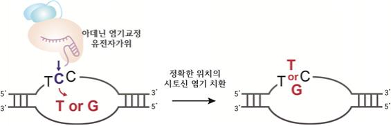염기 하나 콕 집어 바꾼다…아데닌 염기교정 유전자가위 새 기능 규명