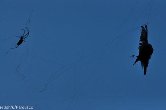 초강력 거미줄에 새가 잡혔다