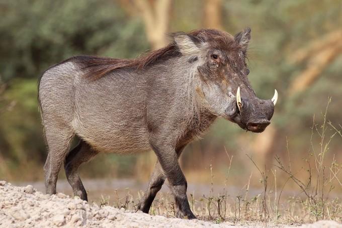 아프리카돼지열병바이러스(ASFV)의 자연 숙주는 사하라 사막 이남 아프리카에 서식하는 혹멧돼지(사진)와 강멧돼지, 숲멧돼지와 이들의 피를 빨아먹고 사는 연진드기다. 이들은 바이러스에 감염돼도 별다를 증상을 보이지 않는다. 위키피디아 제공