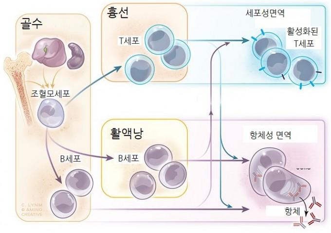 쿠퍼 교수와 밀러 교수가 발견한 면역세포 B세포와 T세포의 작용. B세포는 병원체마다 각각 가지고 있는 고유한 표면단백질을 인식해 들러붙는 항체를 생성한다. T세포는 바이러스에 감염된 세포와 암세포를 인지해 방어한다.앨버트앤메리래스커재단 제공