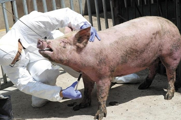 지난 17일 경기 파주의 한 농장에서 폐사한 돼지가 아프리카돼지열병으로 확진됐다. 연합뉴스 제공