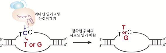 IBS 유전체교정연구단과 한양대 공동 연구팀이 새롭게 밝혀낸′아데닌 염기교정 유전자가위′의 기능. 시토신이 두 번 이상 반복하는 서열에서 가운데에 있는 시토신을 치환할 수 있다는 사실을 확인했다. IBS 제공