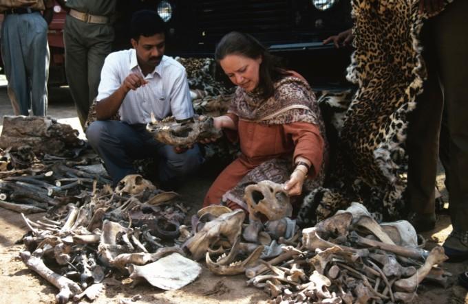 인도에서 호랑이, 표범의 가죽과 뼈를 판매하고 있는 현장. 호랑이 밀렵은 지금도 계속되고 있다. The Wildlife Protection Society of India