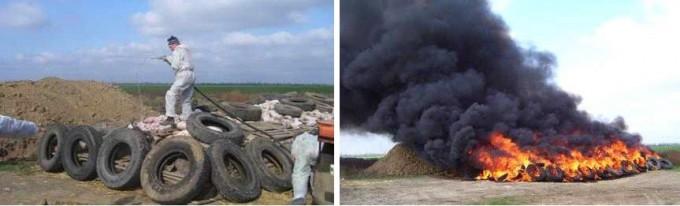 러시아에서 아프리카돼지열병 확진 농가의 돼지들을 살처분, 소각하는 장면. 농림축산식품부 제공
