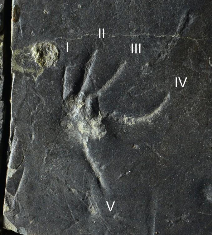 1억 1000만 년 전 중생대 백악지 지층인 ′진주층′에서 발견된 도마뱀의 뒷발자국을 확대했다. 네번째 발가락이 가장 길다. 진주교대 제공