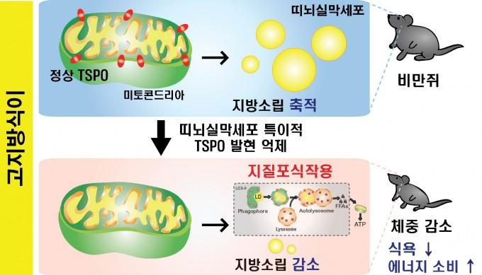 고지방 식이 상태에서 띠뇌실막세포 내 TSPO 발현을 억제시켜 체중 감소를 유도하는 과정을 묘사했다. DGIST 제공