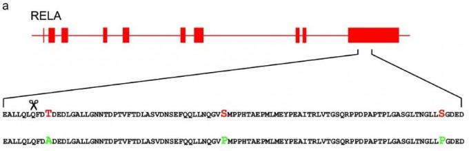 혹멧돼지가 돼지에게는 치명적인 ASFV에 감염돼도 별 증상이 없는 이유 가운데 하나가 면역반응에 관여하는 RELA 단백질의 아미노산 차이라는 연구결과가 있다. RELA 유전자의 구조로 박스가 엑손, 선이 인트론이다. 마지막 엑손이 지정하는 아미노산 서열을 보면 돼지(위)와 혹멧돼지(아래)에서 세 곳(각각 빨간색과 녹색)이 다르다. ′사이언티픽 리포트′ 제공