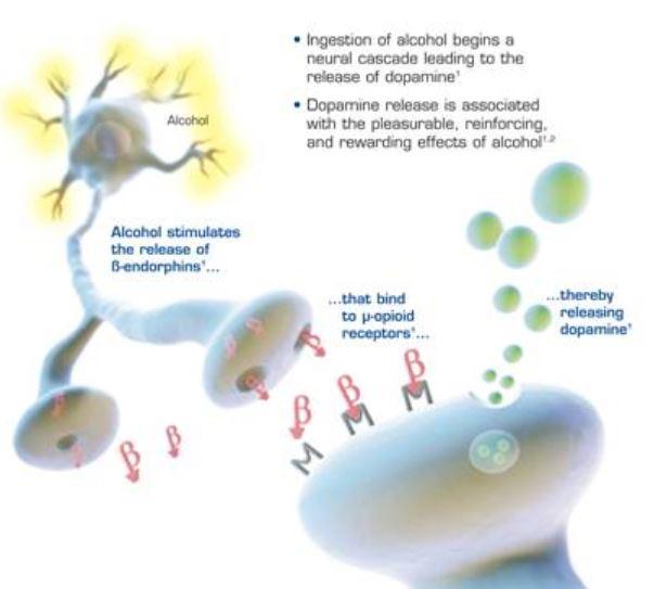 술(알코올)을 마시면 궁상핵의 베타-엔도르핀 뉴런(위)이 활성화돼 궁극적으로 도파민 분비(아래)가 늘면서 우리는 쾌감을 느낀다. 중간 단계를 생략해 단순화한 그림이다.  리드칼리지 제공