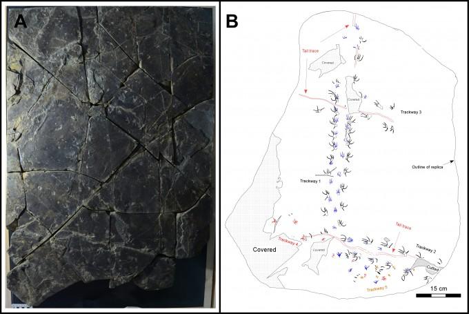 이번에 진주혁신도시 진주층에서 발견된 도마뱀 발자국 화석 표본에는 총 95개의 발자국이 찍혀 있다. 이 가운데에는 5개의 보행렬도 포함돼 있다. 진주교대 제공