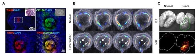 종양이 유도된 생쥐의 폐에서 타이니어가 종양근원세포를 붉은 색으로 물들임을 확인할 수 있다(A). 타이니어는 기존 탐지체와 달리 살아있는 암 줄기세포를 염색할 수 있다. (B)는 폐종양 유도 생쥐에서 종양근원세포를 포함하는 종양조직을 시각화한 모습이며 (C)는 폐종양의 이미지화한 모습. IBS 제공
