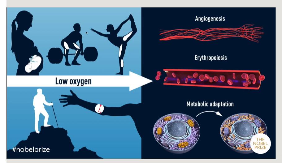 유기체가 산소의 변화에 어떻게 반응하는가에 대한 이해를 높인 세명의 과학자들이 2019년 노벨 생리의학상 수상자로 공동 선정됐다. 노벨위원회 제공