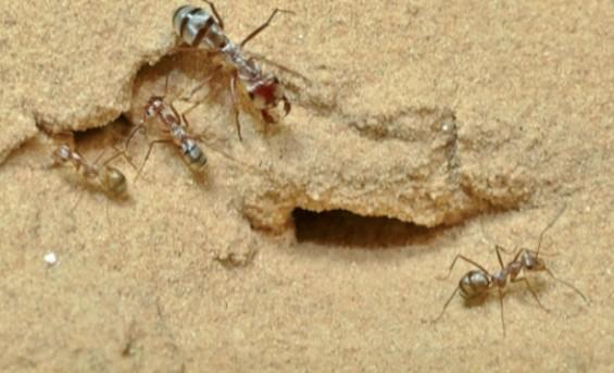 세계에서 가장 빠른 '개미계의 우사인 볼트'