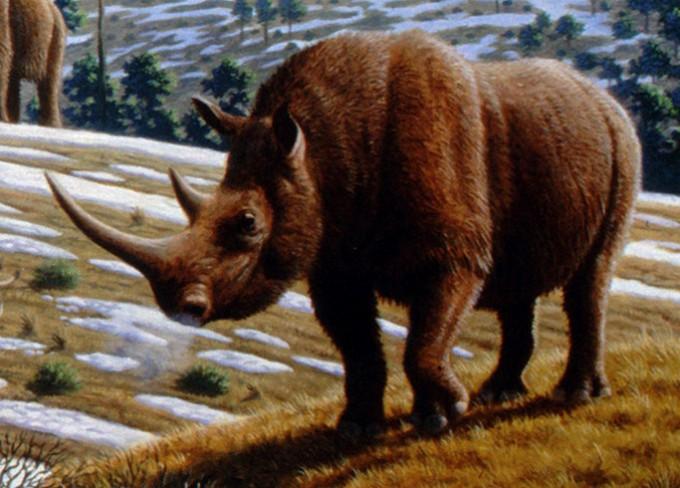 흑해 동부 연안 드마시니에서 발굴된 180만 년 전 코뿔소 이빨에서 단백질을 추출해 분석한 결과 1만 년 전 멸종한 털코뿔소와 가까운 종이라는 사실이 밝혀졌다. 사진은 털코뿔소의 상상도. 위키피디아 제공