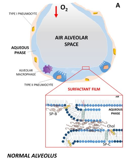 폐포(alveolus)의 구조로 1형 폐포세포(type Ⅰ pneumocyte)로 둘러싸인 풍선이다. 간혹 보이는 2형 폐포세포(type Ⅱ pnemocyte)가 만들어 분비하는 계면활성제가 물층으로 덮인 안쪽 면을 코팅해 표면장력을 줄인다.  'BBA' 제공