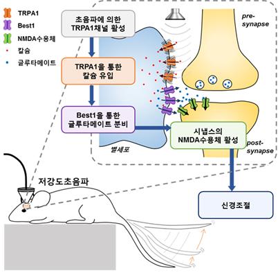 별세포를 통한 저강도 초음파의 신경조절 메커니즘을 나타냈다. 저강도 초음파에 의해 별세포에 발현하고 있는 기계수용칼슘채널 TRPA1이 활성화되어 별세포 내 칼슘이 유입된다. 세포내 칼슘에 의해 Best1 채널이 활성화되면 이 채널을 통해 흥분성 신경전달물질인 글루타메이트가 시냅스로 분비되고 글루타메이트는 신경세포의 NMDA 수용체에 결합하여 신경세포의 활성을 유도하게 된다. IBS 제공