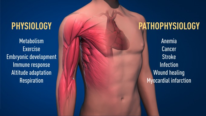 그림 2) 산소 감지 조절 메커니즘은 생리학, 병리학에서 많은 영향, 매우 중요. 이 메커니즘을 활성화 또는 억제하는 방법으로 빈혈이나 암 등 여러 질병를 치료하기 위한 신약을 개발하려고 노력 중.
