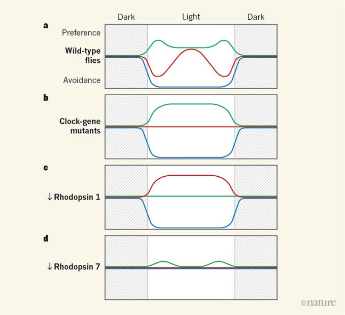하루 동안 초파리의 조명 색 선호도 변화를 보여주는 그래프다. a. 조명이 꺼진 상태(dark)에서는 세 방에 있는 개체수가 비슷하지만 불이 켜지면(light) 녹색빛 방을 가장 선호하고 파란빛 방은 기피한다. 특이하게도 한낮에는 녹색빛 방에 대한 선호도가 떨어지고 빨간색 방에 대한 선호도가 높아져 서로 비슷해진다. b. 생체시계 유전자 per가 완전히 고장난 돌연변이 초파리의 경우 낮에 색 선호도 변화가 나타나지 않는다. c. 녹색빛에 민감한 빛수용체 로롭신1의 발현을 낮춘 돌연변이체는 상대적으로 더 밝게 느껴지는 빨간색 방을 선호한다. d. 파란빛을 감지해 통증 신호를 유발하는 로롭신7의 발현을 낮춘 돌연변이체는 파란빛 방을 피하지 않는다.  사이언스 제공