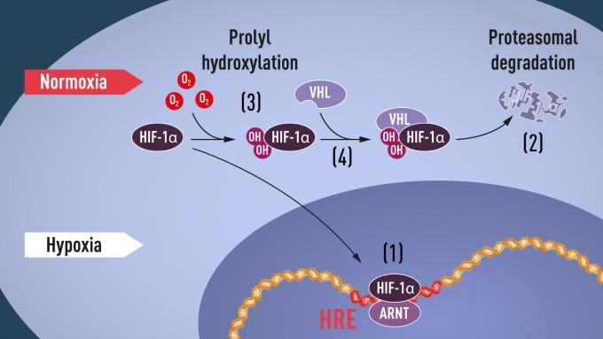 사진1) 산소 농도가 낮으면 HIF-1α가 분해되지 못하고 세포핵 안에 쌓인다. ARNT와 결합해 저산소증을 조절하는 유전자의 특정 DNA 부분(HRE)에 붙는다(1). 산소 농도가 정상적일 때는 HIF-1α는 프로테아좀이 빠르게 분해시킴. 산소는 하이드록실기(-OH)를 HIF-1α에 붙여서 조절한다(3). 그리고 VHL 단백질은 HIF-1α과 복합체를 만들어 산소 의존해 분해된다(4).