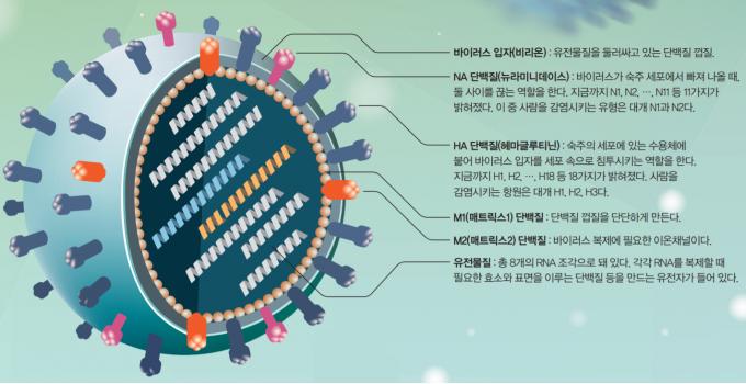 독감의 주범인 인플루엔자바이러스의 모습을 나타낸 그림. 공처럼 둥근 모양으로 지름은 약 80~120nm다. 전문가들은 인플루엔자바이러스 표면에 나 있는 헤마글루티닌(HA 단백질)과 뉴라미니데이스(NA 단백질) 수용체의 종류를 보고 바이러스 균주의 이름을 정한다. 매년 흔히 유행하는 인플루엔자바이러스는 대부분 H1N1이다. 동아사이언스 제공