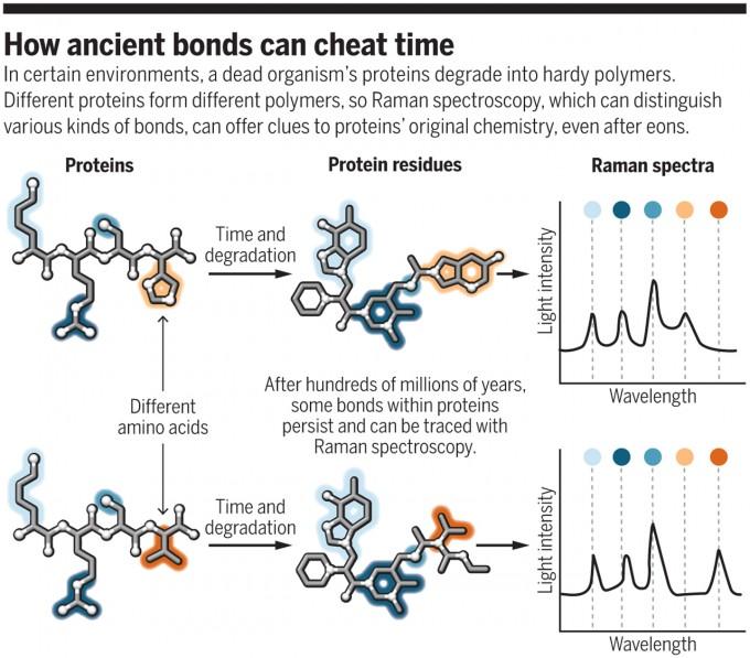 예일대 브리그스 교수팀은 라만 분광법으로 화석에 남이 있는 단백질 변형체의 데이터를 얻어 분석하면 화석의 실체를 규명하는데 도움일 될 수 있다는 사실을 발견했다. 원래 단백질의 아미노산 서열이 다르면(왼쪽) 변형체의 구조도 달라(가운데) 여기서 얻은 스펙트럼 패턴(오른쪽)도 다르기 때문이다. 최근 호주에서 열린 한 학회에서 이들은 이 방법으로 익룡이 온혈동물임을 보여준 결과를 발표했다. 사이언스 제공