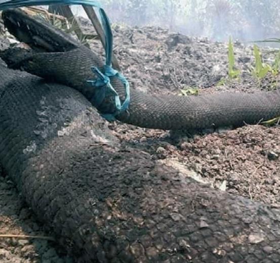인도네시아 산에서 발견된 뱀의 시체. 산불을 미처 피하지 못해 불에 타 죽었다. Grada Satwa foundation