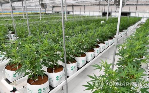 英 NHS, 치료 목적 대마초 약품 2종 사용 최초 승인