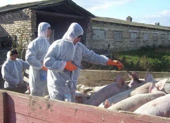 매립한 살처분 돼지 침출수, 대장균·항생제 오염