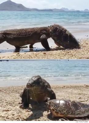 거북을 사냥한 코모도 드래곤
