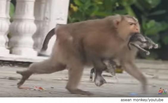 새끼 고양이를 납치하는 원숭이 '포착'