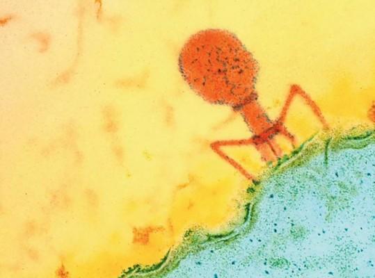 세균 잡는 바이러스가 치료제로 탄생