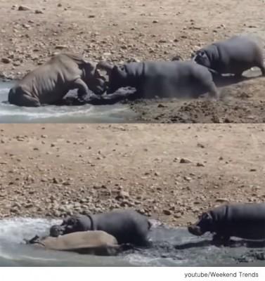하마와 코뿔소의 격렬한 대결 '화제'