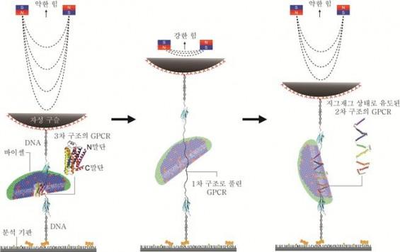 인간 막단백질 접힘 경로 첫 규명