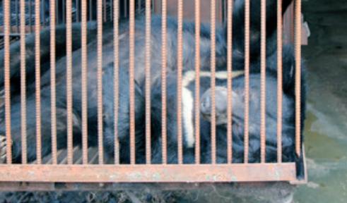 뜬장에 사는 사육곰. 곰 보금자리 프로젝트 제공