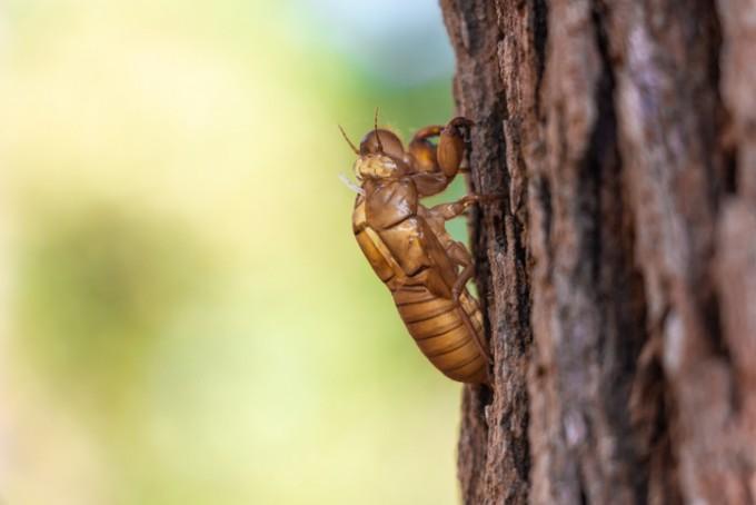 매미 애벌레가 성충이 될 때 나무에서 벗어버린 허물이 파킨슨병에 효능이 있다는 연구결과가 나왔다. 게티이미지뱅크 제공