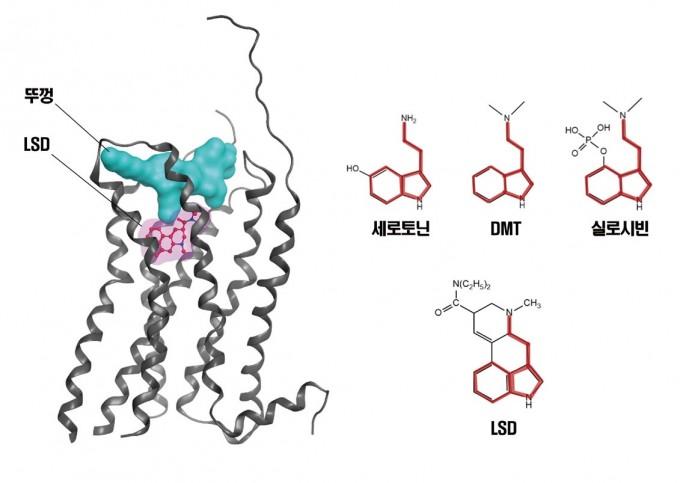 신경전달물질인 세로토닌과 사이키델릭 분자들의 구조에는 공통된 부분(굵은 붉은 선)이 있다. 그 결과 사이키델릭 분자들은 세로토닌 2A 수용체(왼쪽)에 달라붙어 작용한다. 특히 LSD는 수용체에 달라붙으면 잘 안 떨어져 극소량으로도 효과를 낸다. DMT는 디메틸트립타민으로 몇몇 식물과 버섯에서 발견되는 사이키델릭 분자다. 박성규/MID 제공
