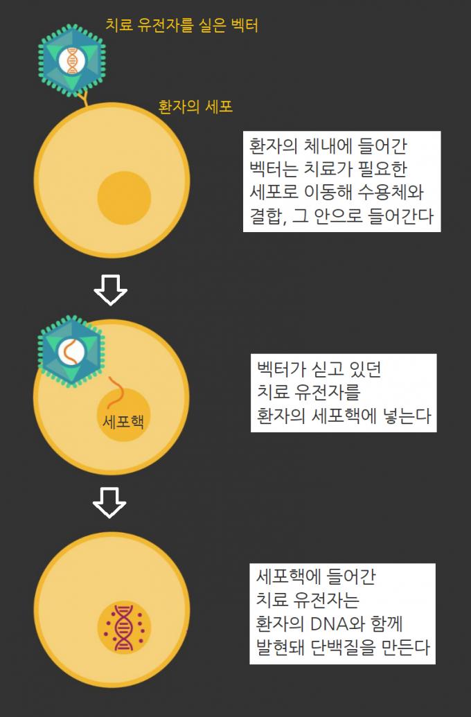 벡터가 치료 유전자를 환자의 세포에 전달하는 과정. 화이자 제공