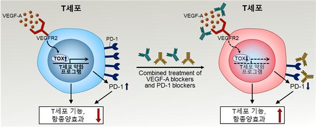 혈관내피형성인자(VEGF)는 T세포에 달라붙어 ′톡스′ 단백질을 유도한다. 톡스는 T세포의 기능을 억제하기 위해 PD-1을 많이 발현한다. 연구팀은 이 과정을 억제하는 VEGF 억제제를 투입하면 면역항암제 치료 효율을 높일 수 있다는 전략을 제시했다. KAIST 제공