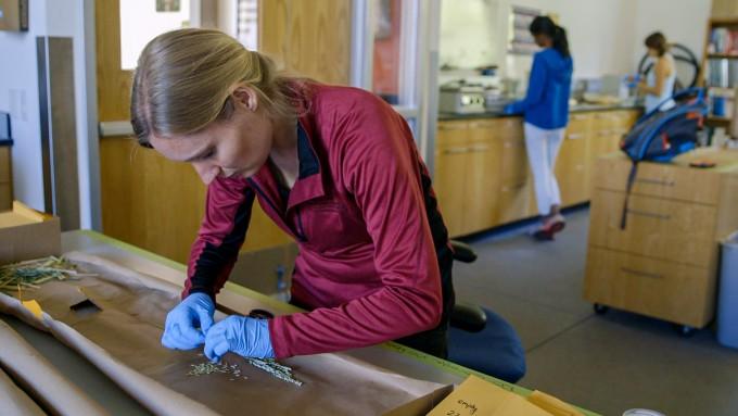 스콧 펜도르프 미국 스탠퍼드대 지구시스템과학부 교수 연구팀은 기후변화 환경에서 쌀을 키우면 발암물질인 비소 함유량이 늘어나고 수확량은 감소한다는 것을 밝혀냈다. 연구팀이 쌀 속 성분을 분석하기 위해낱알을 분리하고 있다. 스탠퍼드대 제공