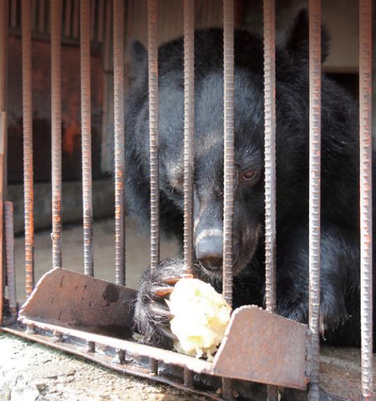 사육곰이 철창 사이로 사과를 꺠먹고 있다. 곰 보금자리 프로젝트 제공