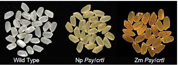 2004년 신젠타의 연구자들은 수선화 대신 옥수수의 psy 유전자를 도입해 카로티노이드 함량을 23배나 높인 황금쌀을 개발하는데 성공했다. 1999년 황금쌀(가운데)은 노란색인 반면 2004년 황금쌀은 주황색이다(오른쪽). '네이처 생명공학' 제공
