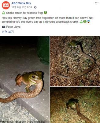 10배 큰 뱀을 잡아 먹는 개구리 '포착'