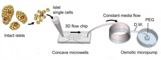 당뇨, 3차원 췌도조직 직접 키워 연구한다...새로운 조직배양 기술 개발