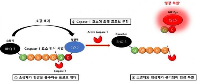 카스파제-1이 형광물질과 소광물질이 모두 붙은 단백질을 끊으면 형광이 나타나며 카스파제-1의 활성화 여부를 확인할 수 있게 된다. KIST 제공