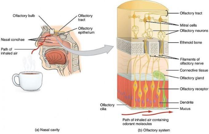 냄새를 감지해 정보를 뇌로 전달하는 후각계를 보여주는 그림이다. 왼쪽 비강 위쪽의 네모 부분을 확대한 오른쪽 그림을 보면 후각상피(아래 주황색)에 있는 후각수용체뉴런(olfactory receptor)에서 위로 뻗은 축삭이 사상판(벌집뼈. ethmoid bone)에 뚫린 구멍을 통과해 후각망울(사상판 위쪽)에서 통합돼 뇌로 전달됨을 알 수 있다. 위키피디아 제공