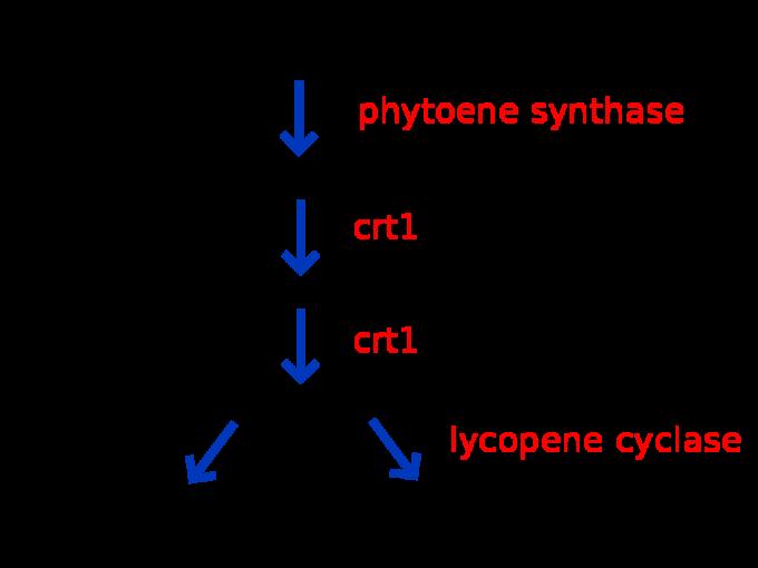 1990년대 스위스와 독일의 공동연구자들은 베타카로틴을 함유한 쌀을 만들기 위해 생합성 과정에 필요한 효소 유전자(빨간색)를 선별해 벼의 게놈에 집어넣을 DNA 조각을 만들었다. 실험결과 쌀의 배젖에는 라이코펜을 베타카로틴으로 바꿔주는 효소가 존재해 lcy(lycopene cyclase) 유전자는 넣지 않아도 된다는 사실이 밝혀졌다.