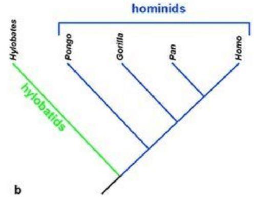 유인원의 계통수. 먼저 소형유인원인 긴팔원숭이과(hylobatids)와 대형유인원인 사람과(hominids)로 갈라진 뒤 사람과의 공통조상에서 오랑우탄(Pongo), 고릴라 계열이 나뉜 뒤 약 600만 년 전 침팬지(Pan)와 사람(Homo)이 결별했다. 그럼에도 유독 사람만 50%가량 더 오래 사는 건 독특한 생활방식에 맞춰 심장과 혈압이 진화한 결과의 부수적인 효과라는 해석이 최근 나왔다. '네이처 교육지식' 제공