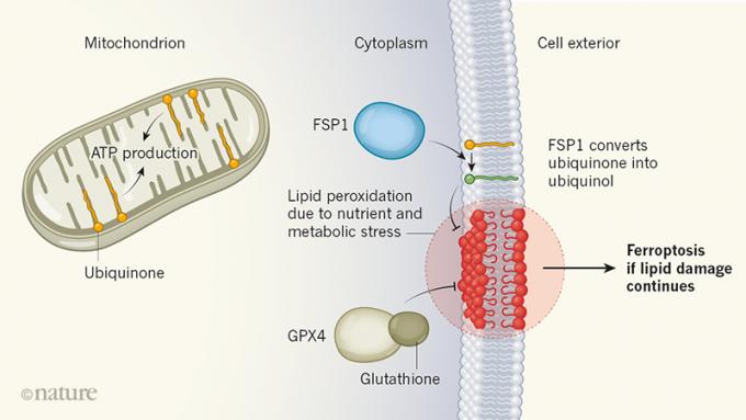 최근 페롭토시스를 억제하는 두 번째 메커니즘이 밝혀졌다. 즉 세포막에 있는 코큐텐(ubiquinone)의 환원형 분자(ubiquinol)가 지질 과산화물 라디칼을 환원시켜 안정한 분자로 돌려놓아 페롭토시스로 진행되는 걸 막는다(오른쪽 위). 코큐텐은 에너지 분자인 ATP를 만드는 미토콘드리아의 세포전달계를 이루는 구성원으로 알려져 있다(왼쪽). 한편 2014년 글루타치온이 지질 과산화물 라디칼을 환원시켜 페롭토시스를 억제하는 메커니즘이 처음 밝혀졌다(오른쪽 아래). '네이처' 제공