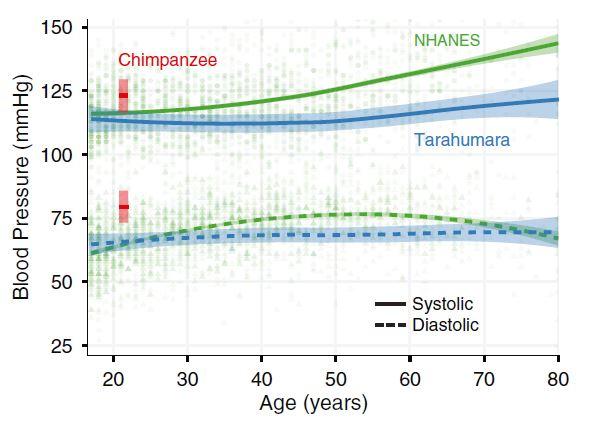 평생 몸을 쓰며 살아가는 자급자족 농민인 타라우마라족 사람들은 나이가 들어도 수축기(systolic) 혈압이 거의 높아지지 않는다(파란 선). 반면 다수가 정적인 생활을 하는 미국인들은 50대에 젊은 침팬지 수준(왼쪽 빨간색)이 되고 그 뒤로도 상승세가 이어진다(녹색 선). '미국립과학원회보' 제공